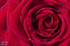 Swirling deep red English Rose photo by Cherry Harrison