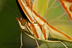 Malachite butterfly - Explored Sept 15, 2012 photo by In10ctee