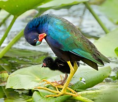 Purple gallinule chick hiding behind it's dad for protection photo by Jamie Felton Photo