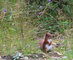 Baby Red Squirrel photo by Derbyshire Harrier