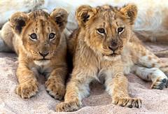 Lion Cubs photo by DickieK