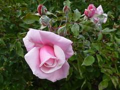 una rosa per settembre         Explored 01/09/2012 #102 photo by solonanda Thanks a 1000000 views!