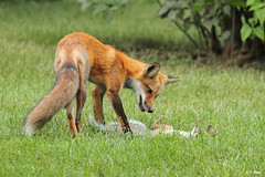 Le renard roux et sa proie / The Red fox and his prey photo by Yves Déry