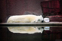 The Lazy Polar Bear To Reflect photo by igh-033