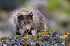 Arctic Fox (Vulpes lagopus fuliginosus) photo by Gudmann