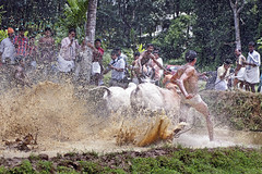 Bull Racing in Kerala - Photo 3 - Heading into the Stands photo by Anoop Negi