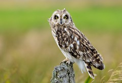 Short-eared Owl (Juv) - Explore 4/09/2012 photo by TL1000R Al