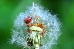 Dandelion Dream [Explored] photo by pallab seth