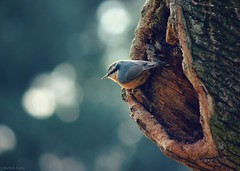 nuthatch bokeh (explored) photo by Jen MacNeill