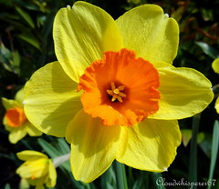 Welcome Spring! - Close-up Photo of a Daffodil's Trumpet (Narcissus Plant) photo by Cloudwhisperer67