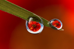 Red Gerbera water drop refraction photo by Muzby1801