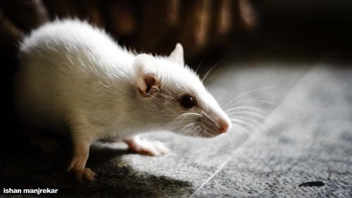 人間を超える生物が生み出されるのか? 人間の脳細胞を移植したマウスが誕生 1番目の画像