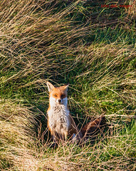 red fox vixen  (Vulpes vulpes) photo by Tales From The Riverbank