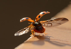 Ladybird Taking Off photo by richard.heeks