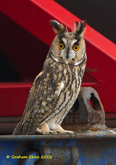 Long-eared Owl, Asio otus photo by Graham Ekins