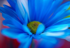 Blue Daisy photo by j man.