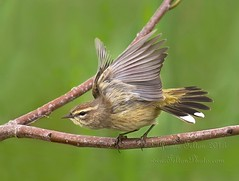 Palm Warbler's take off photo by Jamie Felton Photo