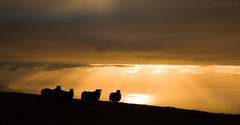 Sunset sheep photo by Douglas Herbert