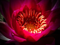 Close-up Deep  Pink Water Lily photo by 12bluros