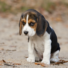 The lot to learn look of a 8 weeks young Beagle photo by Hans Surfer (where the action is)