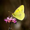 Colias croceus photo by luciano dionisi (very busy)
