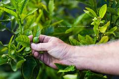 Lime growing in garden, gardening, Australia photo by Robert Lang Photography