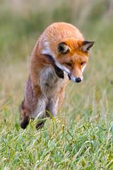 Fox hunt ! photo by Brett T