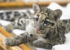 Baby Clouded Leopard photo by San Diego Shooter