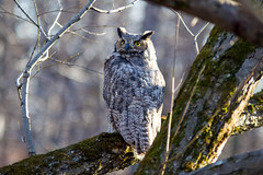 Grand-duc d'Amérique / Great Horned Owl photo by pylacroix