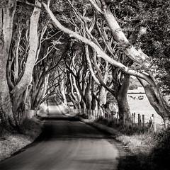 the dark hedges - northern ireland - black & white photo by laughlinc