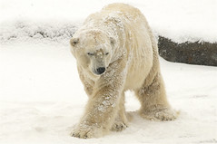 snow bear photo by ucumari