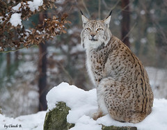 Luchs photo by ClaudiB.
