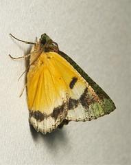 Geometrid Moth (Dindica sp., Geometrinae) photo by John Horstman (itchydogimages, SINOBUG)