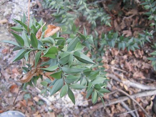 Ruscus aculeatus L. - Pungitopo