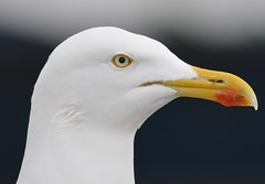 Herring Gull portrait photo by Jacky4me( Back from Ipernity)