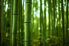 Arashiyama Bamboo Forest photo by *Tim Grey