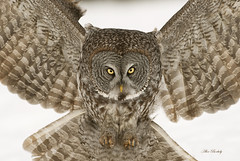GREAT GRAY OWL 44 photo by AIR BUS
