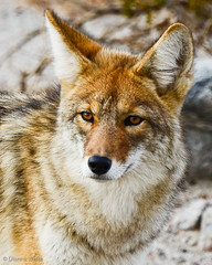 Coyote photo by xTexAnne