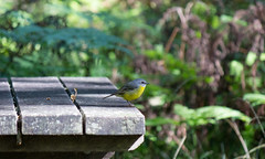 Yellow Robin at the table photo by M Hooper