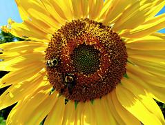 Autumn Sunflower photo by BlueisCoool