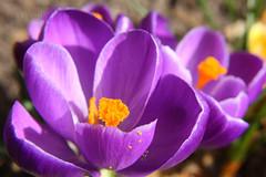 Spring has Sprung - Crocus Honey #2 photo by Wim Zoeteman