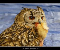 Bird of Prey photo by Paul Simpson Photography