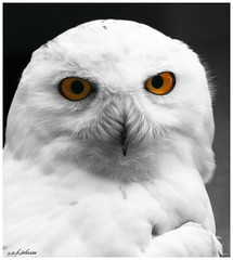 SNOWY OWL photo by car 67