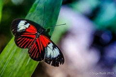 "Tattered ""Small Postman"" (Heliconius Erato) photo by Michigan Transplant"