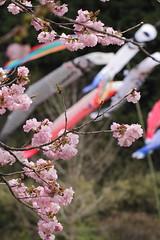 およげ!こいのぼりくん photo by mizuk@