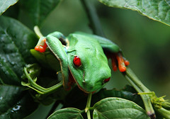 Red Eyed Tree Frog photo by matlacha