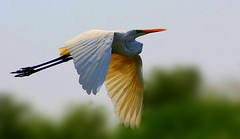 Great Egret photo by Arsh_86