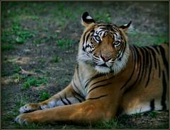 Sexy Sumatran photo by charmnic