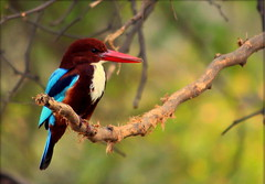 white throated kingfisher  (♥♥EXPLORED♥♥) photo by Arsh_86