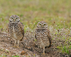 Burrowing Owls photo by DMF Photography